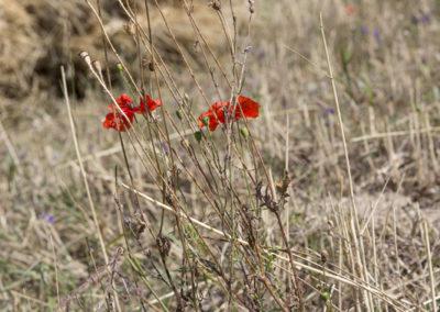 Rye Harvest Switzerland © www.paulinejoosten.nl
