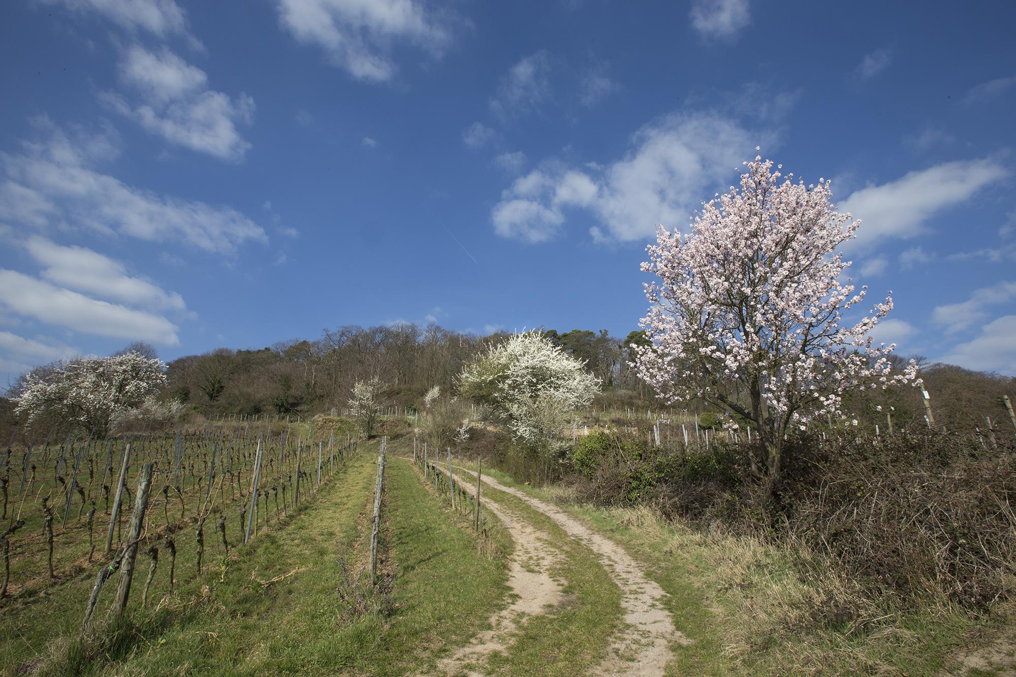 2 amandelroute-door-de-Pfalz