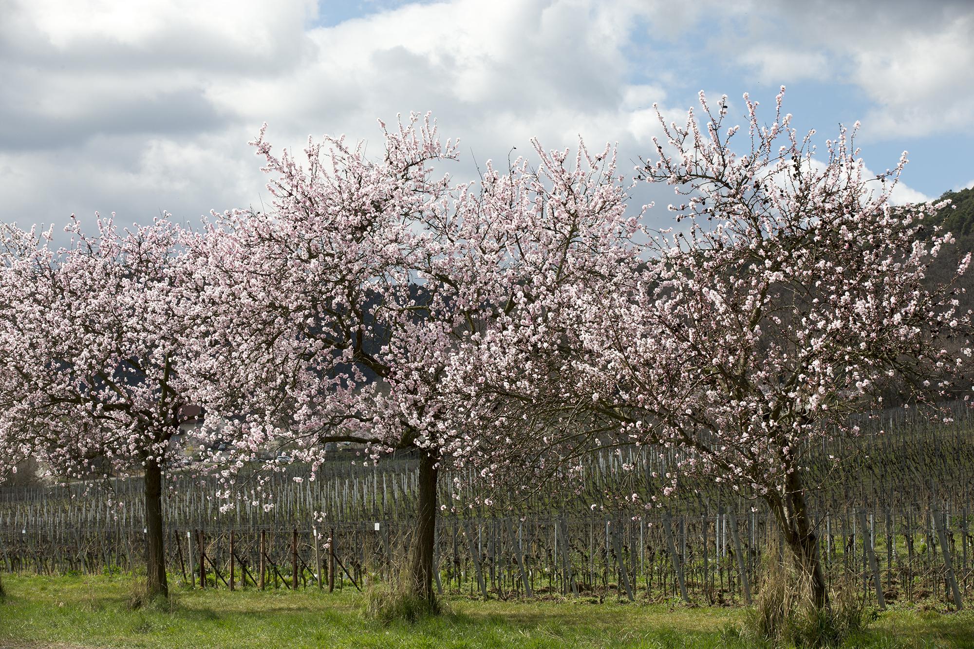 3 amandelroute-door-de-Pfalz