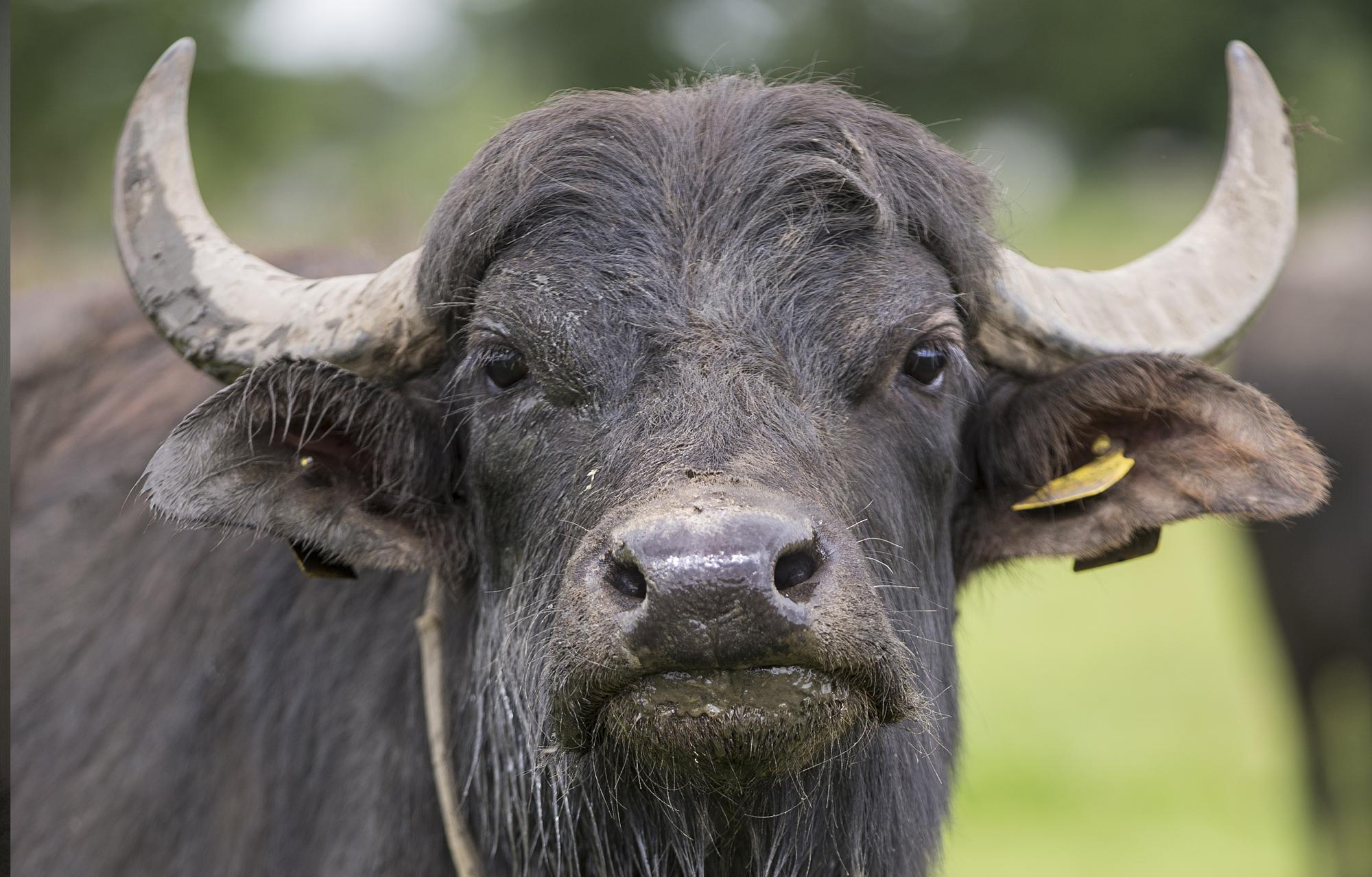 waterbuffels 1